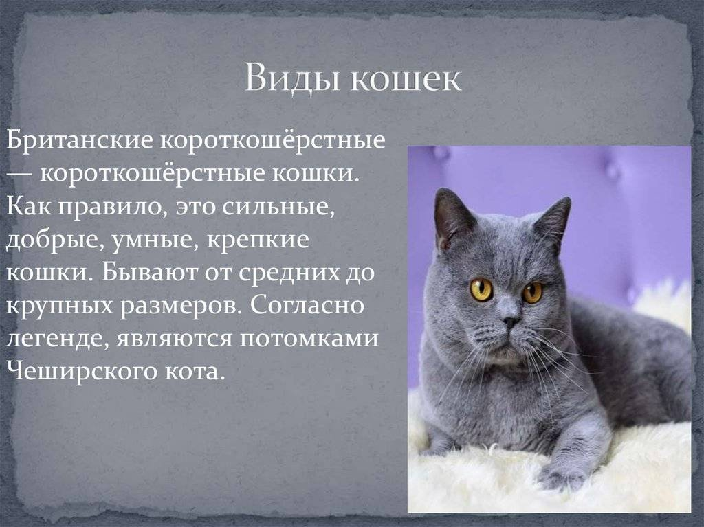 Eвропейская кошка, короткошерстный кельтский кот