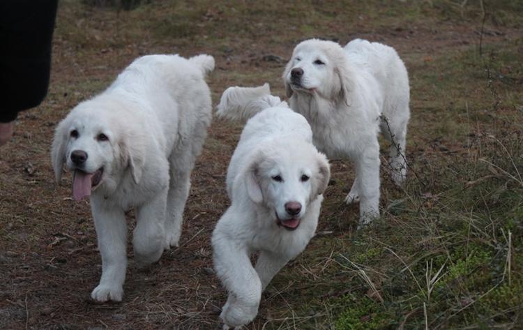 Польская подгалянская овчарка: описание породы собак