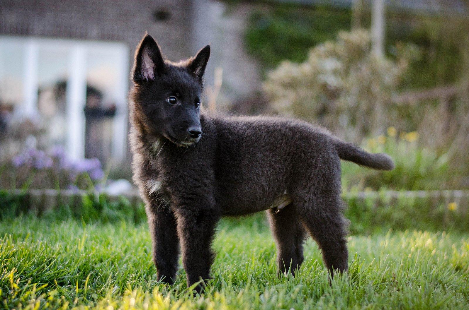 Чёрная немецкая овчарка: элита породы или чудеса генетики?