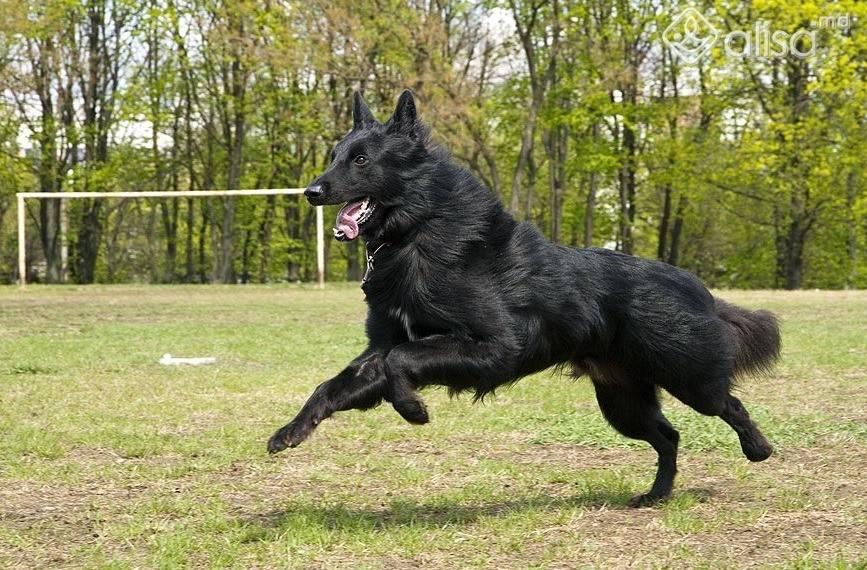 Грюнендаль: чёрная бельгийская овчарка