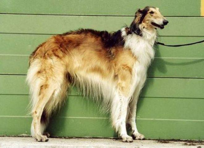 Русская борзая собака: описание гончей породы