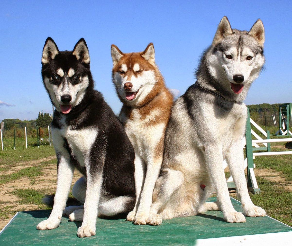Лайки и их собачья работа