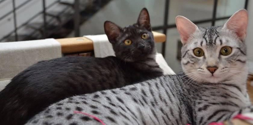 Египетская мау — кошка из Древнего Египта