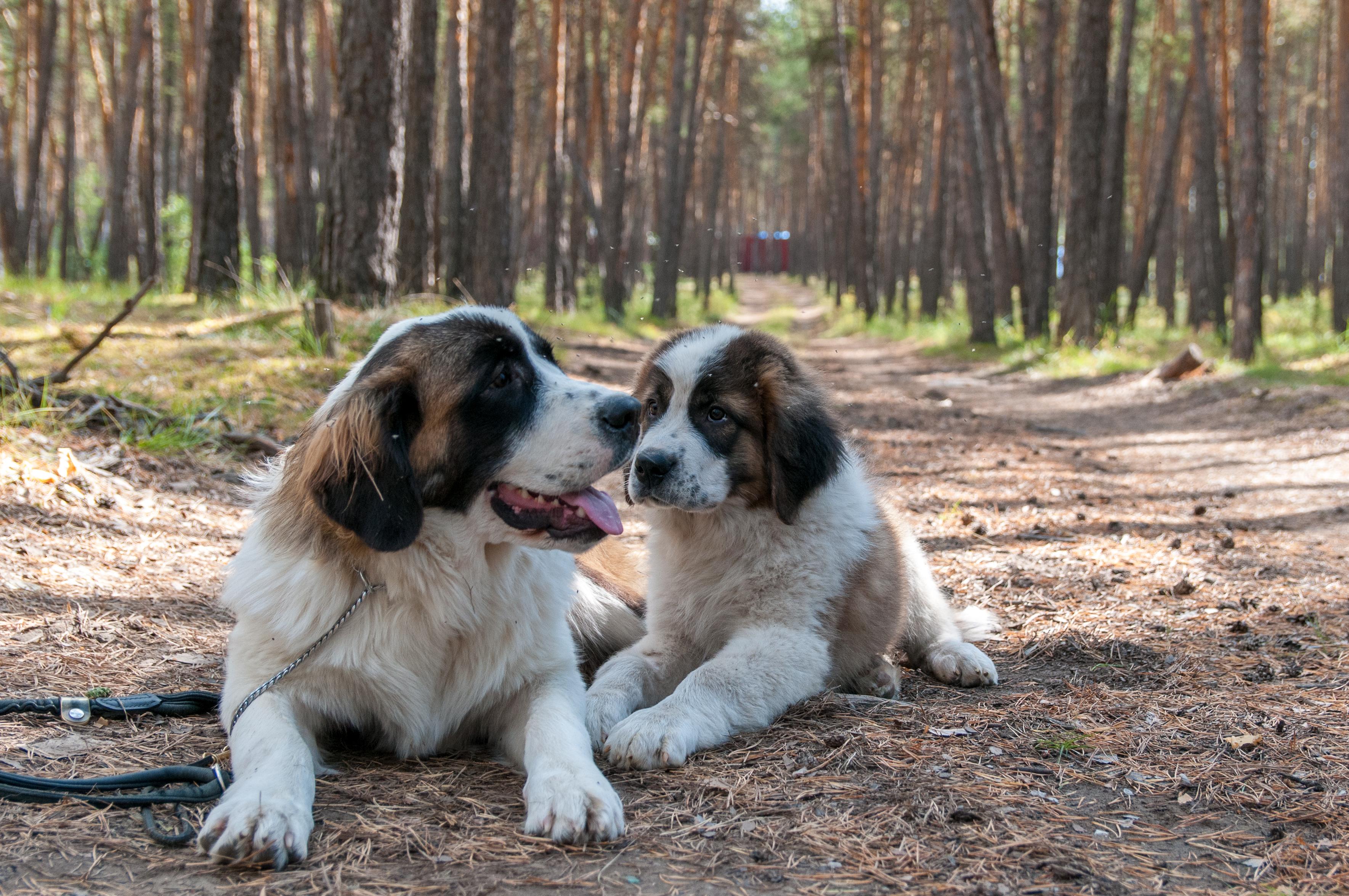 Московская сторожевая собака