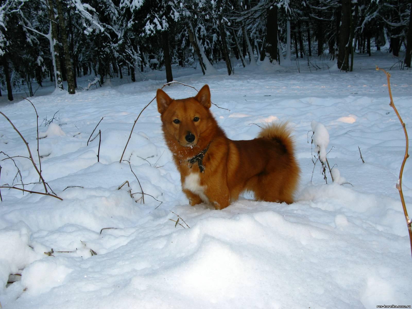 Карело-финская лайка (финский шпиц)