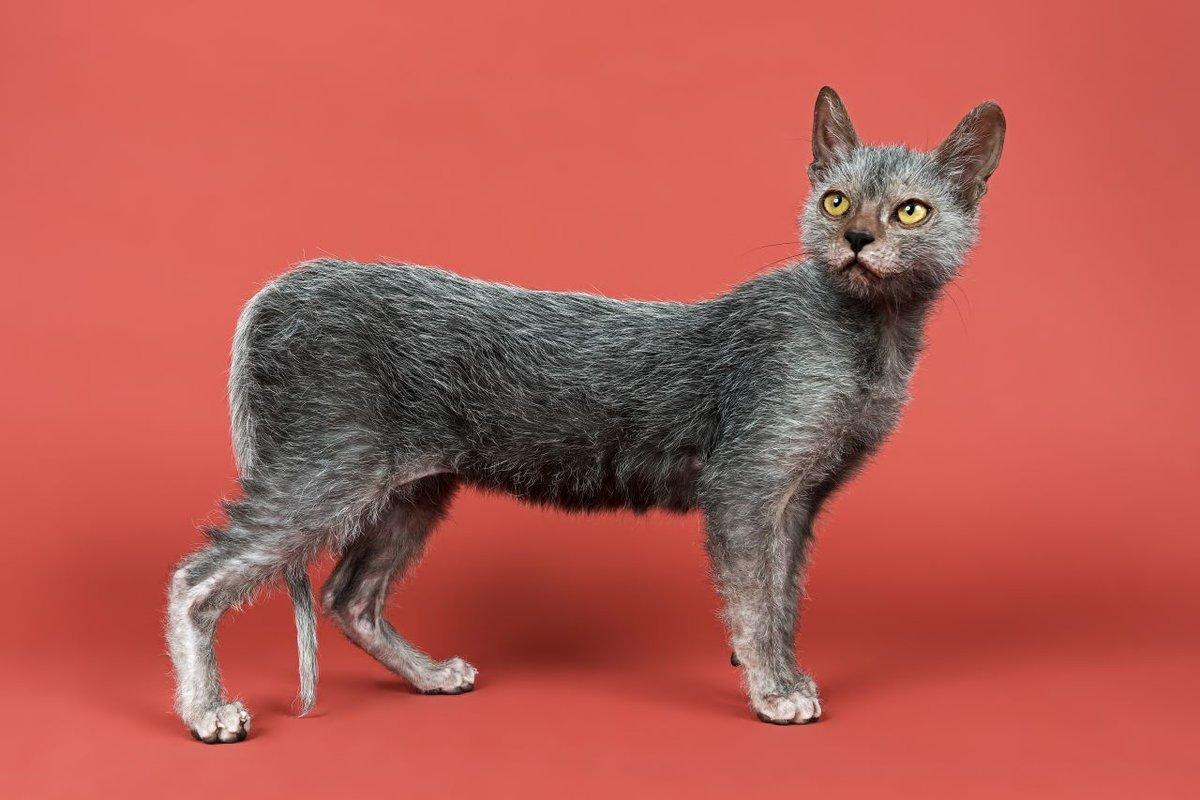 Ликой кошка или кот-оборотень