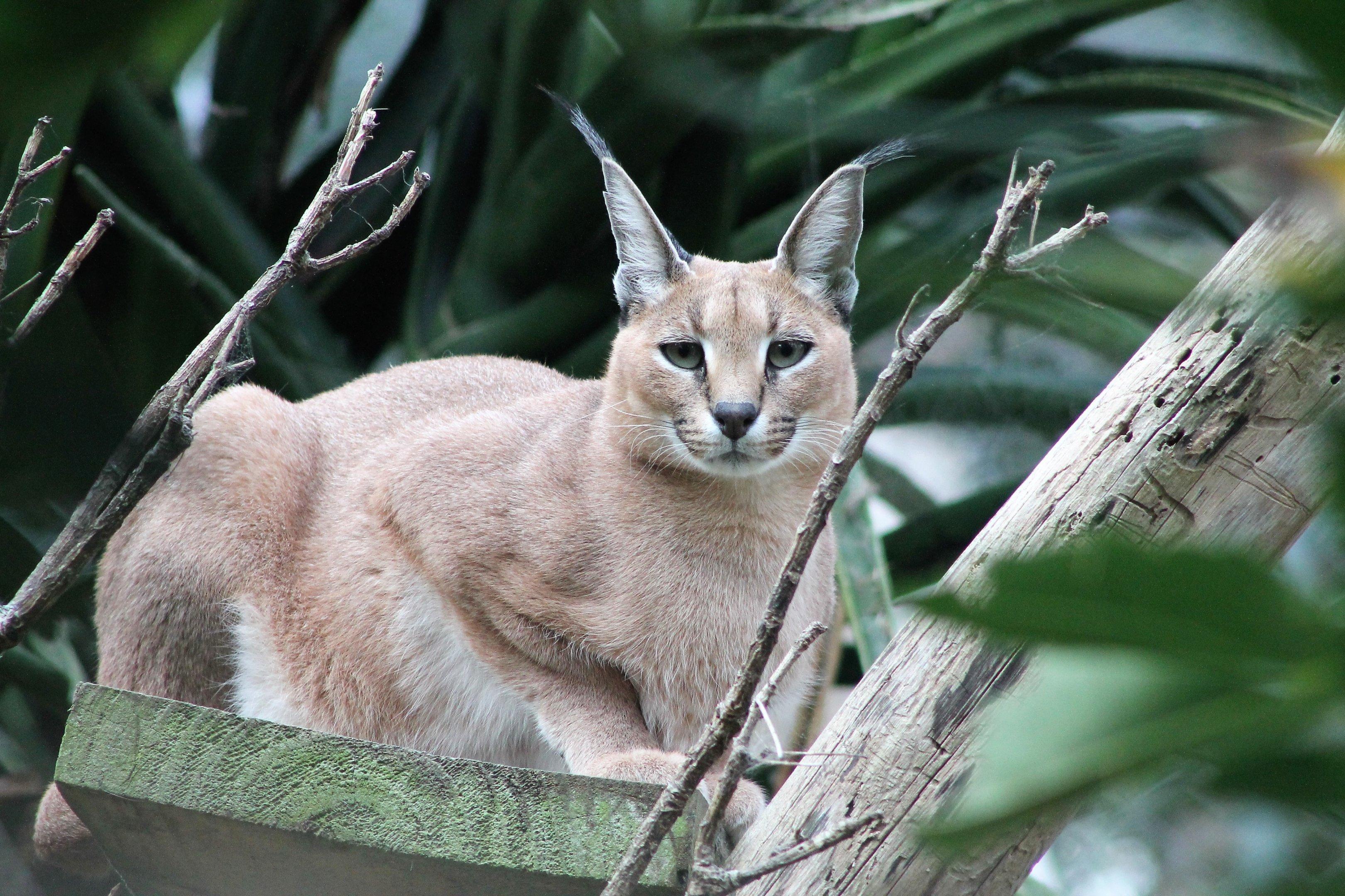 Дикая пустынная кошка каракал