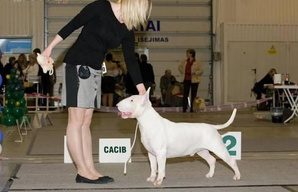 Собака бультерьер: характеристика породы