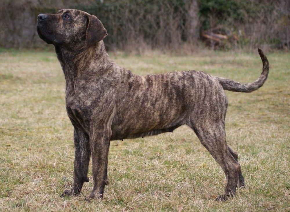 Канарский дог: описание породы собак дого канарио