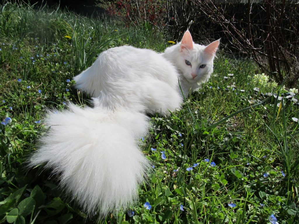 Турецкая ангора (ангорская кошка)