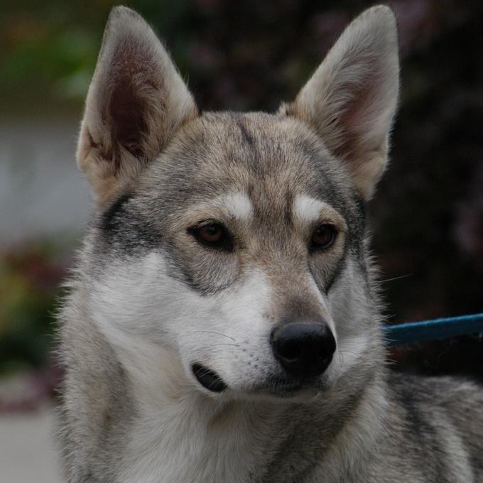 Тамаскан (Тамасканская собака)