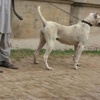 Булли кутта — непризнанный пакистанский мастиф