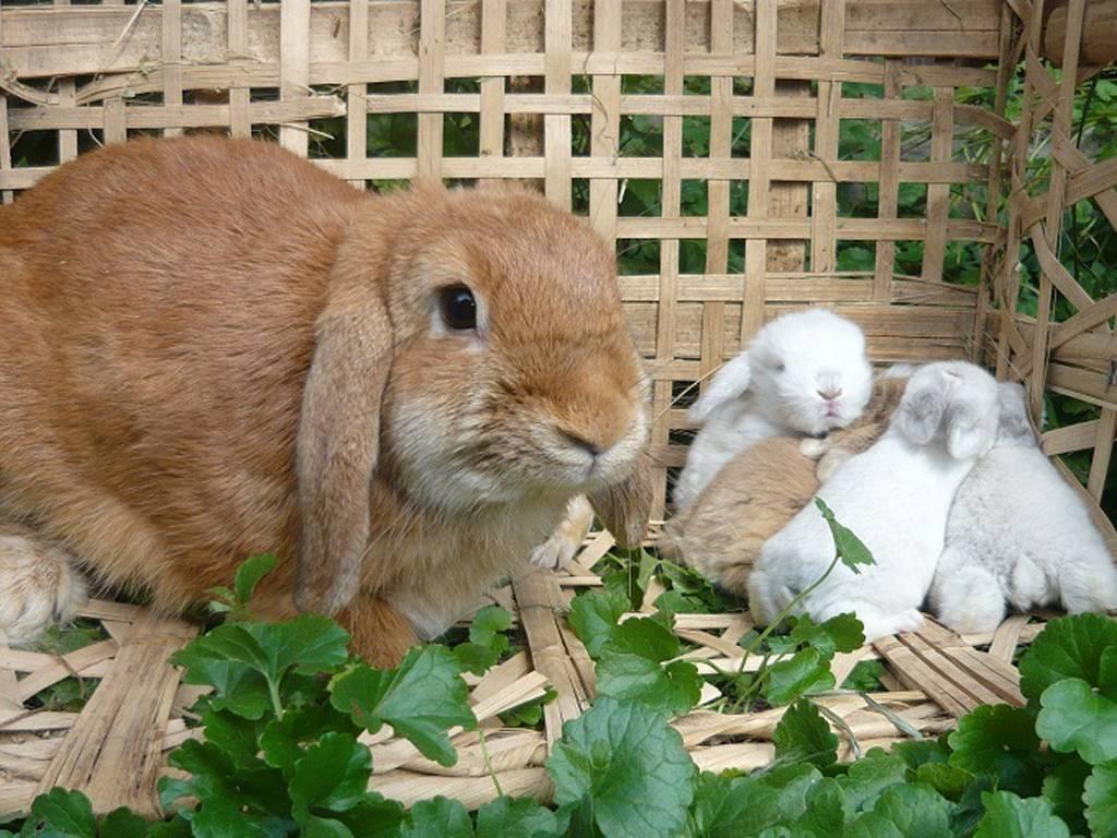 Домашний кролик: уход и содержание в домашних условиях