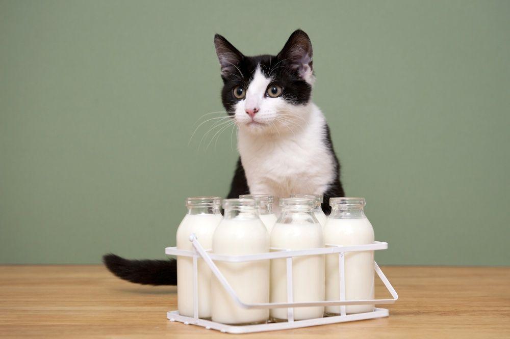 Кошки не могут без молока: миф или реальность