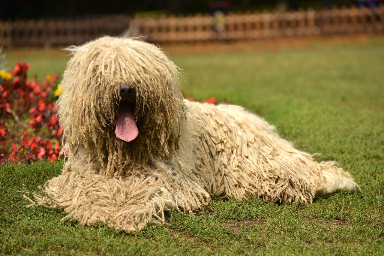 Командор (собака): венгерская порода овчарок