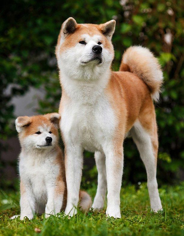 Японская собака: охотничьи породы императоров