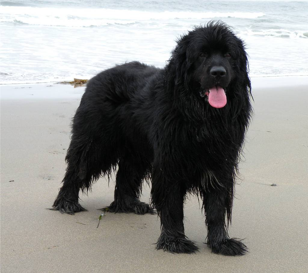 Ньюфаундленд (Водолаз) — порода собак