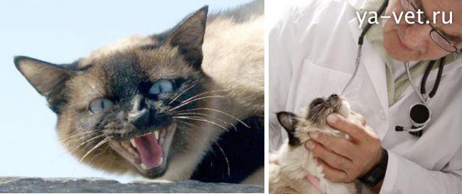 Кошка кашляет: почему хрипит, причины, как будто подавилась