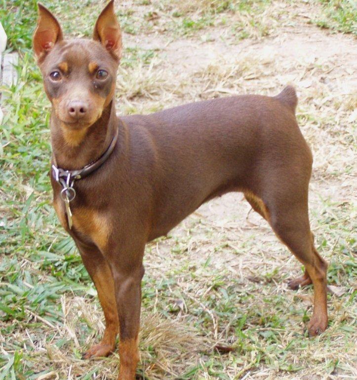 Карликовый пинчер (цвергпинчер) — порода собак