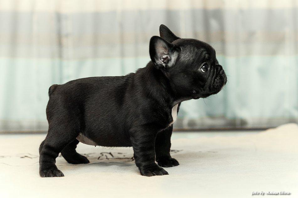 Французский мини-бульдог: престижная собака или породный брак?