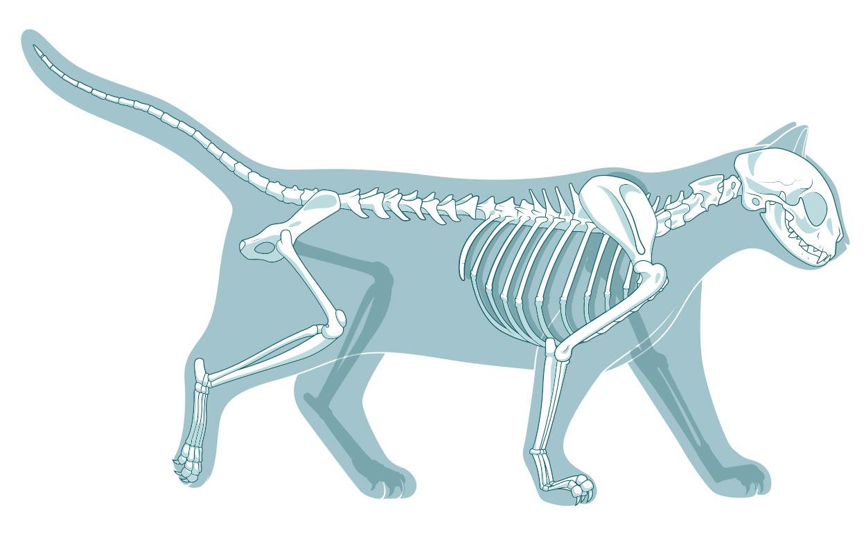 Анатомия кошки: строение скелета и черепа
