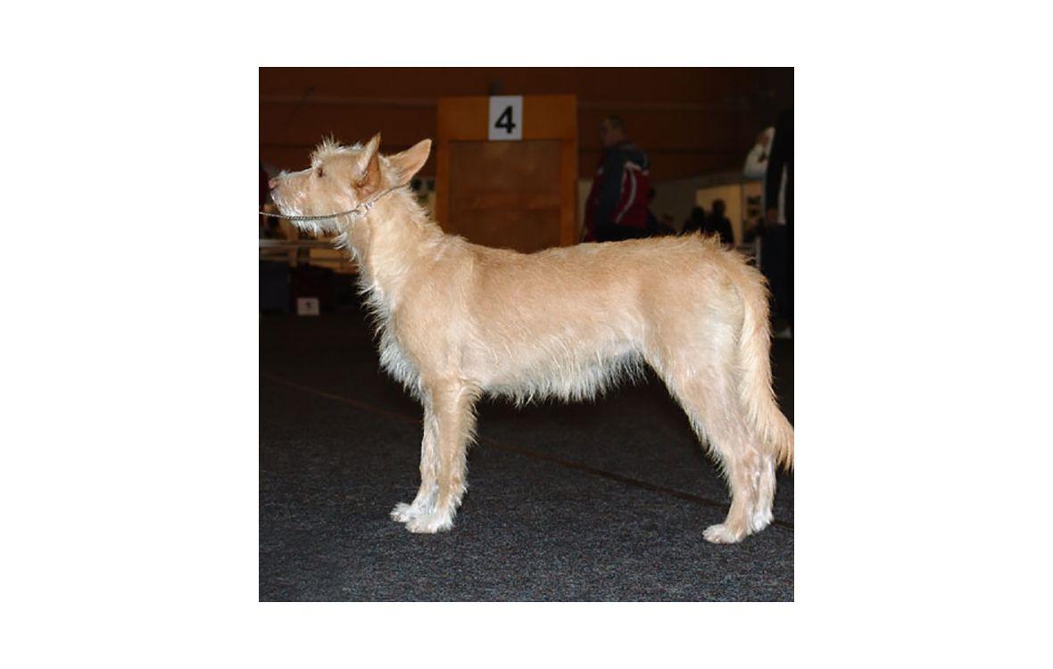 Португальский поденгу (португальская борзая, кроличья собака)