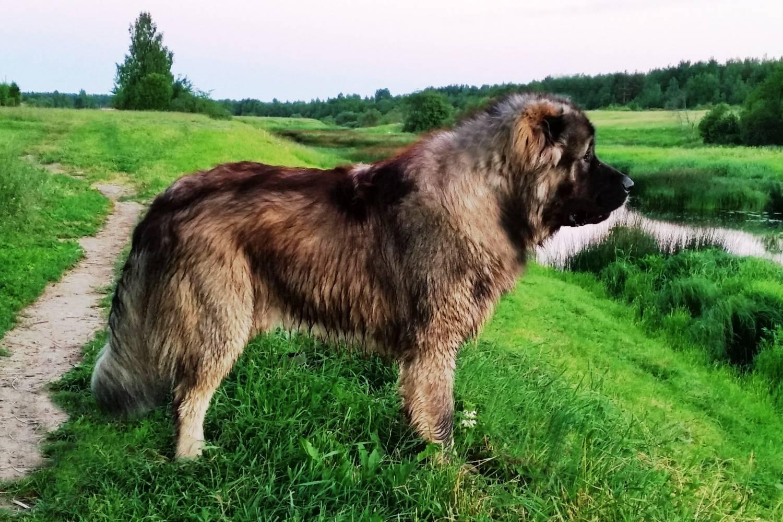 Кавказская овчарка: серьёзный гигант