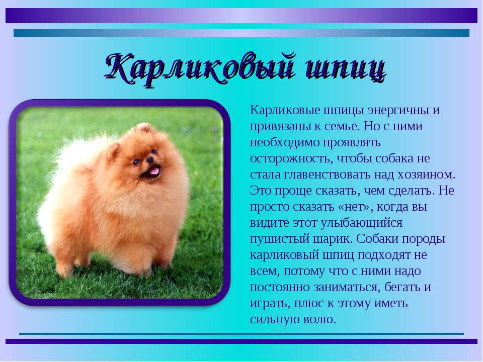 Померанский шпиц: описание породы собак, зубы, характер
