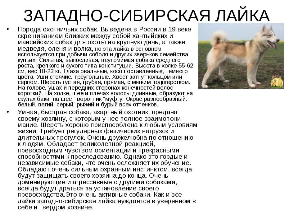 Западно-сибирская лайка: описание породы