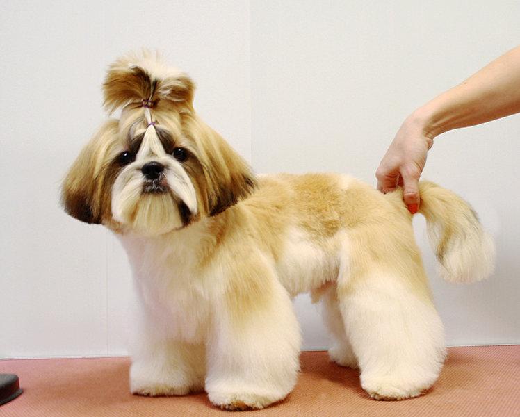 Стрижка ши-тцу под щенка: как подстричь в домашних условиях