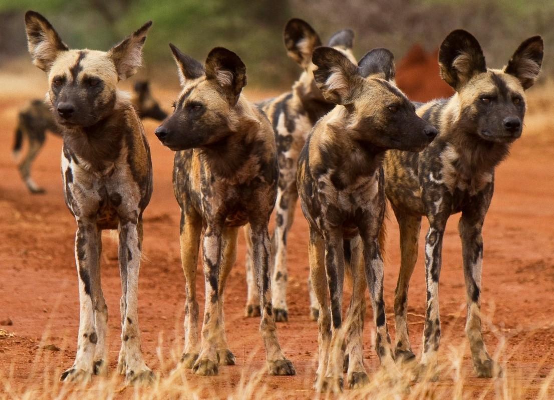 Гиеновидная собака: африканская дикая в домашних условиях
