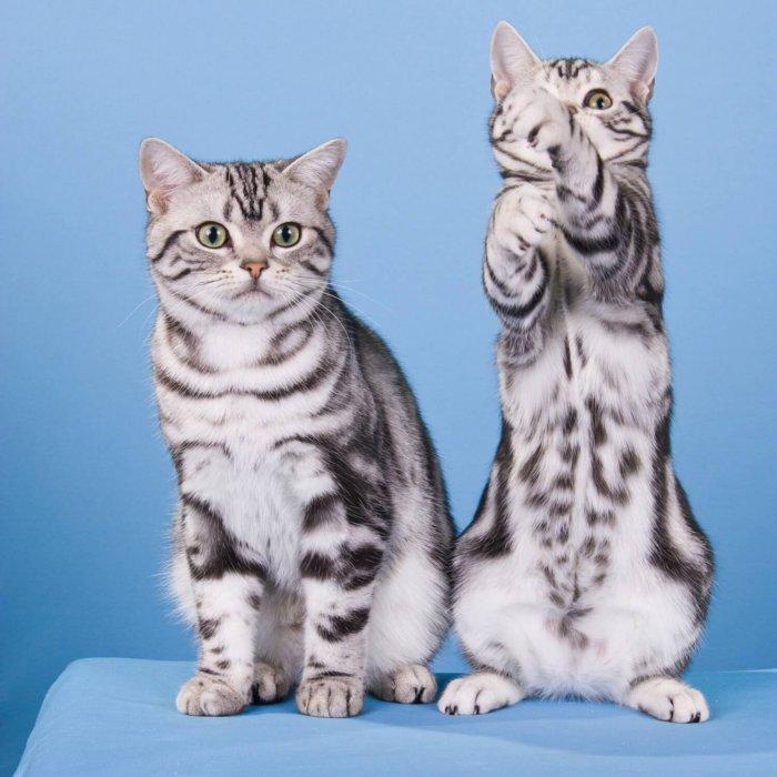 Короткошерстныепороды кошек