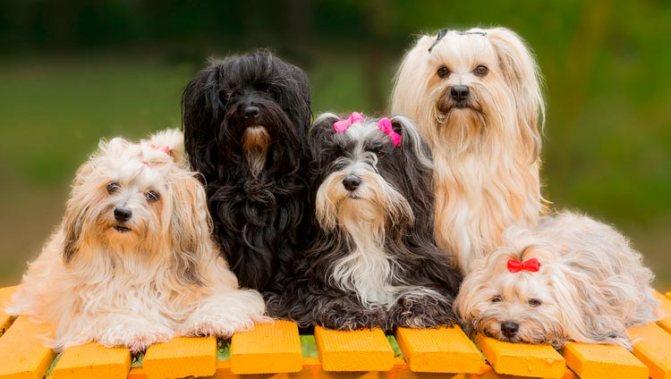 Гаванские бишоны: миниатюрные комнатные собачки родом из жаркой солнечной Кубы