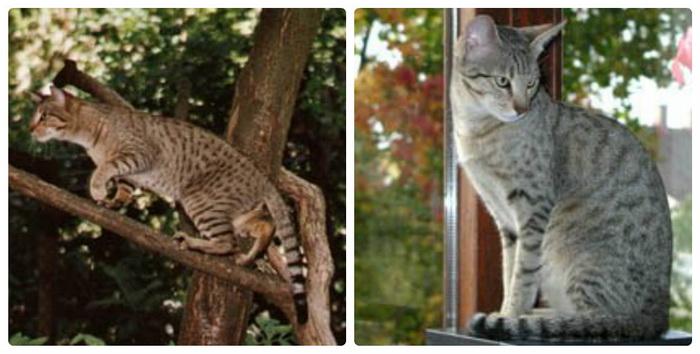Канаани (Ханаани): кошки и коты