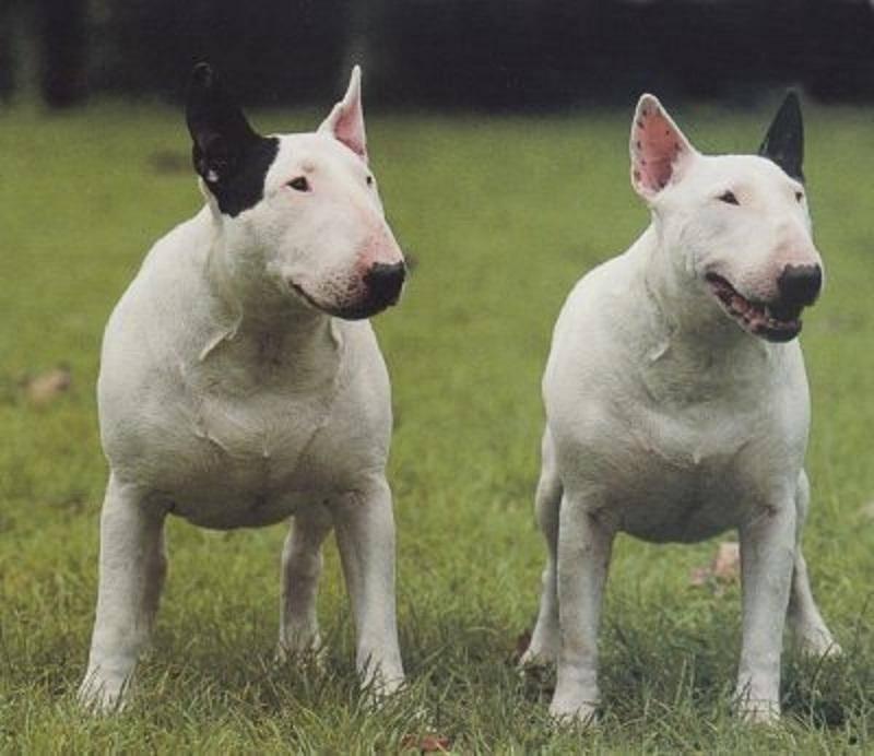 Бойцовские породы собак: список