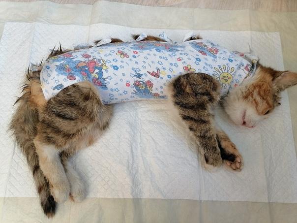 Кошка после стерилизации: уход в домашних условиях