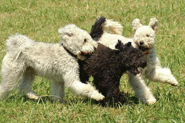 Пуми —собака с неисчерпаемым запасом энергии
