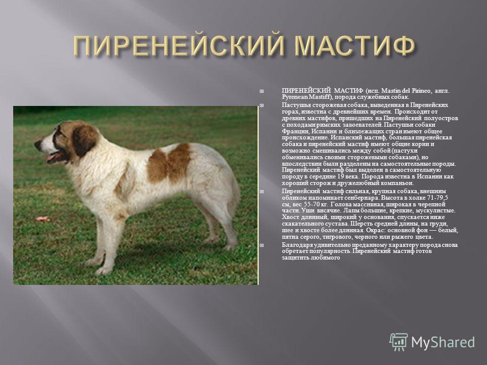 Самоедская собака: почему эта лайка так называется