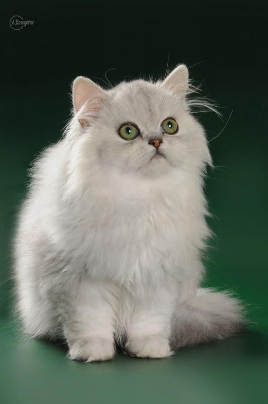 Белая кошка с голубыми глазами: примеры названия пород