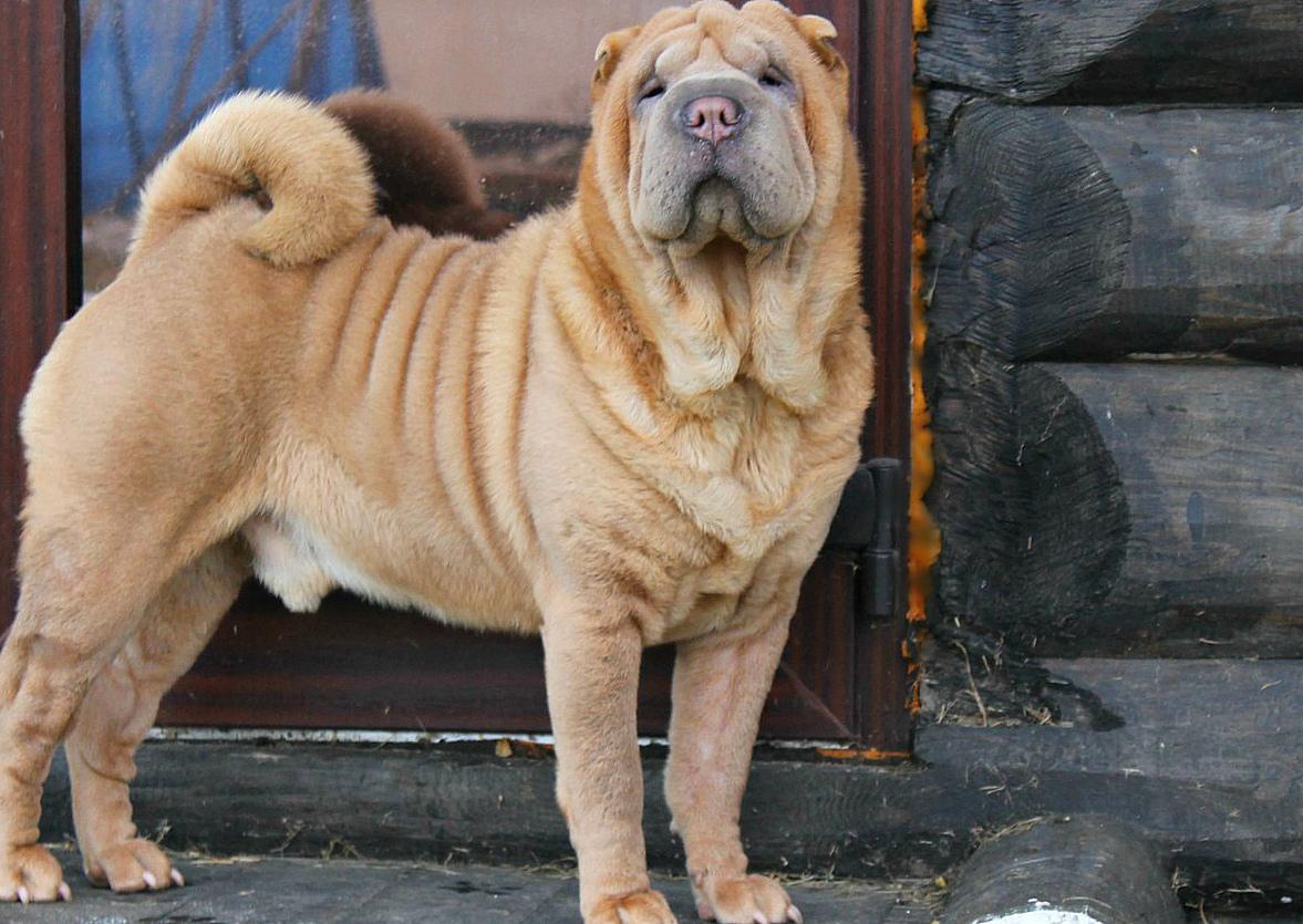 Сторожевые собаки: разновидности и особенности