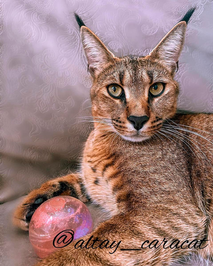 Каракет: гибридная порода кошек похожих на рысь