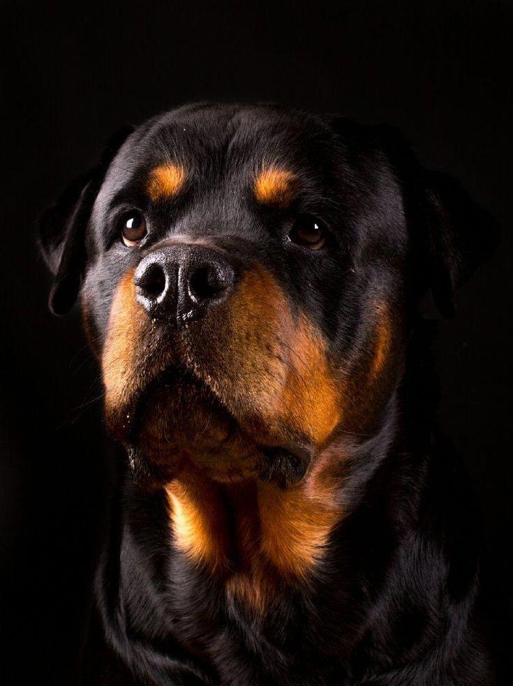 Ротвейлер (собака): золотистый, черный, характеристика породы