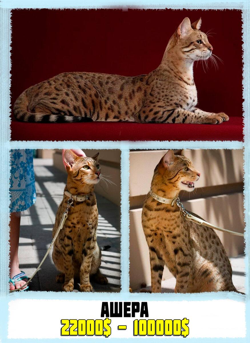 Выставка тщеславия: самые дорогие породы кошек