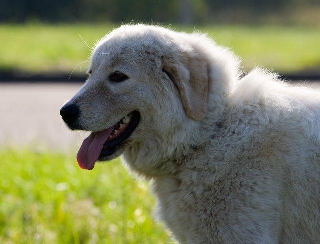 Маремма-абруццкая овчарка: серьёзный и своенравный белоснежный пастух