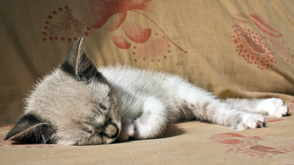 Почему коты так много спят и что им снится