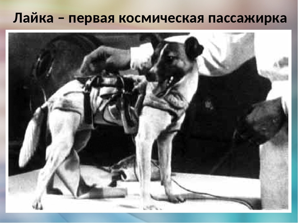 Лайка — первая собака-космонавт