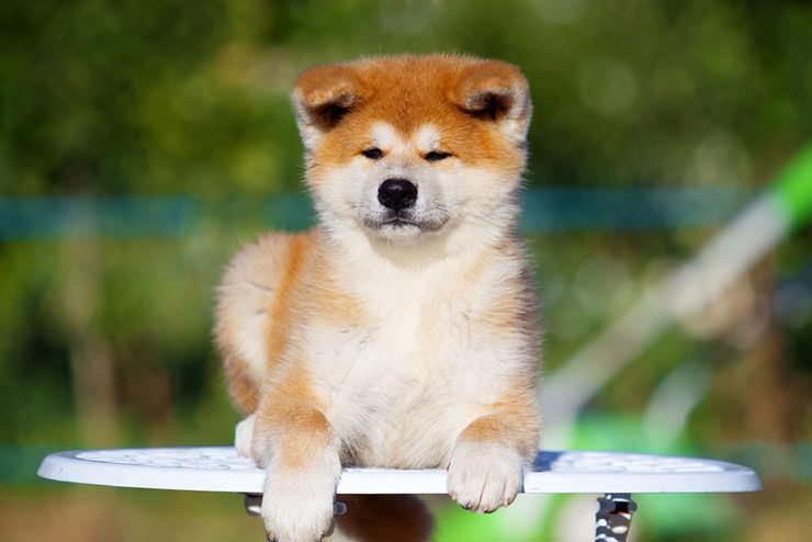 Японские клички для собак, а также корейские для мальчиков и девочек