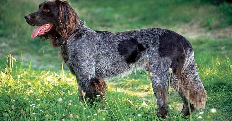 Немецкий лангхаар (Немецкая длинношерстная легавая, немецкий длинношерстный пойнтер)