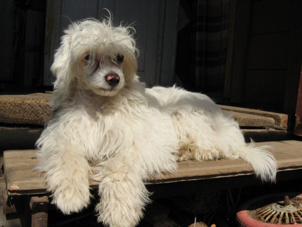 Китайская пуховая хохлатая собака: секреты ухода за шерстью