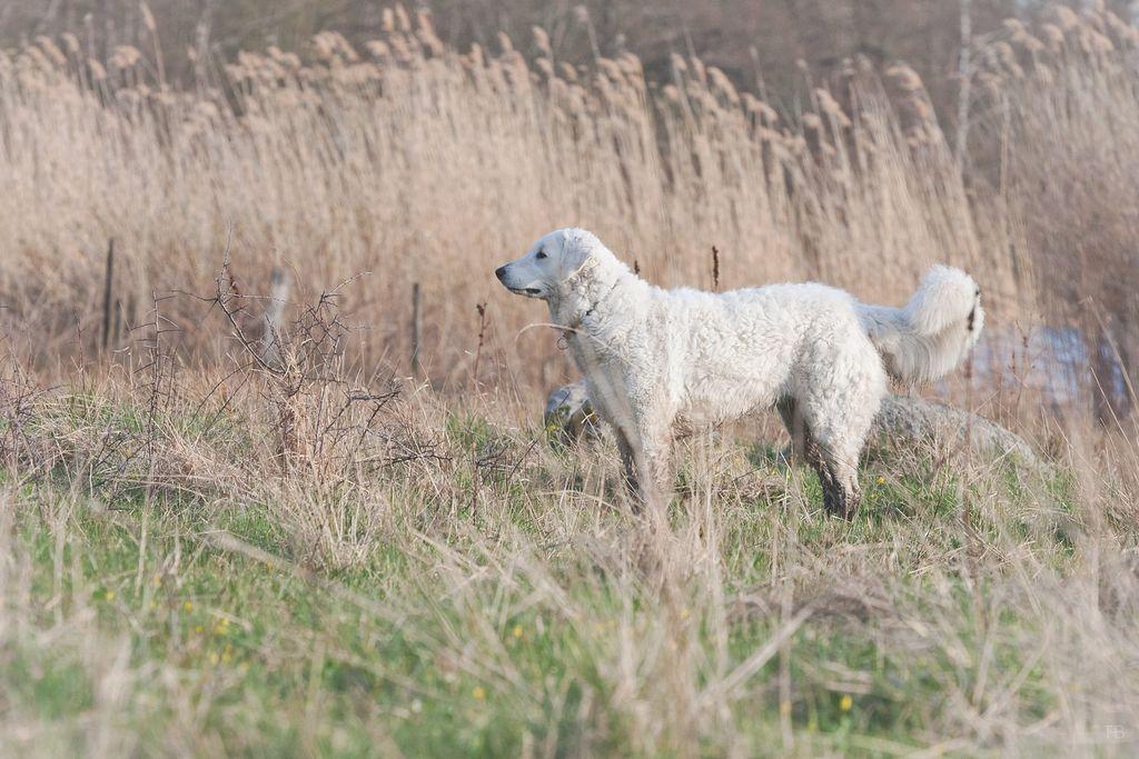 Венгерский кувас (порода собак): описание